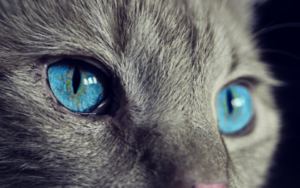 Vision animale: les yeux du chat